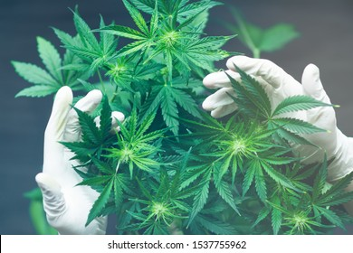 A large number of cannabis flowers in the hands of Medic doctor employee concepts of profuse cultivation With light tinted