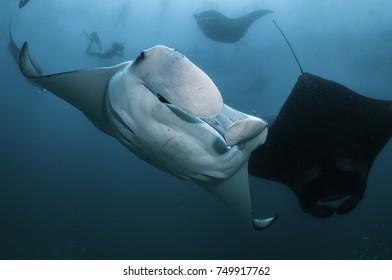 Large number of manta rays feeding at the surface, Hanifaru Bay, Baa Atoll, Maldives.