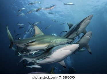 Large number of oceanic black tip sharks at South Africa's Aliwal Shoal dive site.