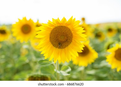 large number of sunflowers in the field outside the city