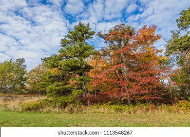 Large Oak, Maple and Pine tree show off bright fall foliage under a bright blue sky dotted with clouds in Minnewaska State Park, NY