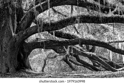 Large oak tree in black and white tone in Tallahassee, Florida - Shutterstock ID 1979163998
