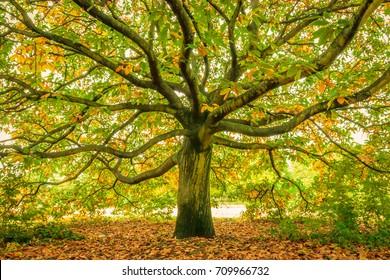 Large oak tree, Hyde Park London
