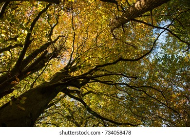 Large oak tree with ivy, and leaves on the ground, taken in the autumn/fall in Surrey