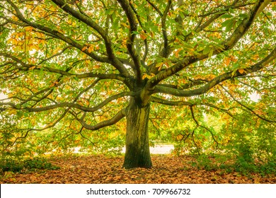 Large oak tree, London, England
