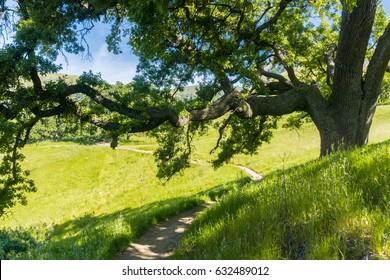 Large oak tree providing shade, Sunol Regional Wilderness, San Francisco bay area, California