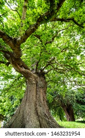 Large oak tree  (Quercus robur) at Crowhurst, East Sussex, England