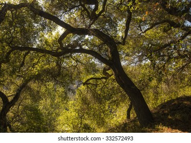 A large oak tree in the Santa Monica Mountains of California, lit by the late afternoon sun.