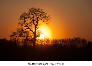 Large oak tree silhouette at sunset in Bauska region, Latvia