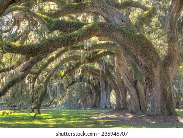 Large oak trees on a plantation house in South Carolina