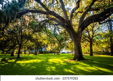 Large oak trees and spanish moss in Forsyth Park, Savannah, Georgia.