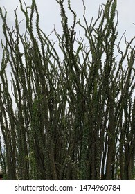 Large ocotillo plant with greenery