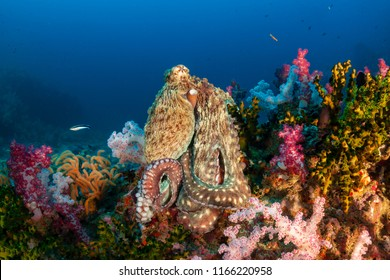 A large Octopus sitting on top of a pinnacle surrounded by colorful soft corals on a tropical reef