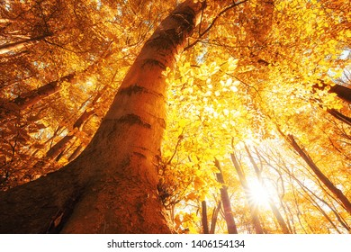 Large old beech stands in the Golden autumn light