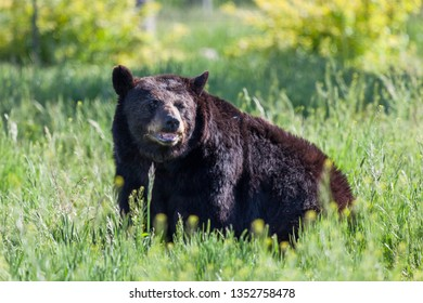 A large old black bear sitting in the sunshine in deep green spring grass.