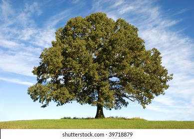 A large old Oak Tree with beautiful blue sky with clouds in the background, horizontal with copy space