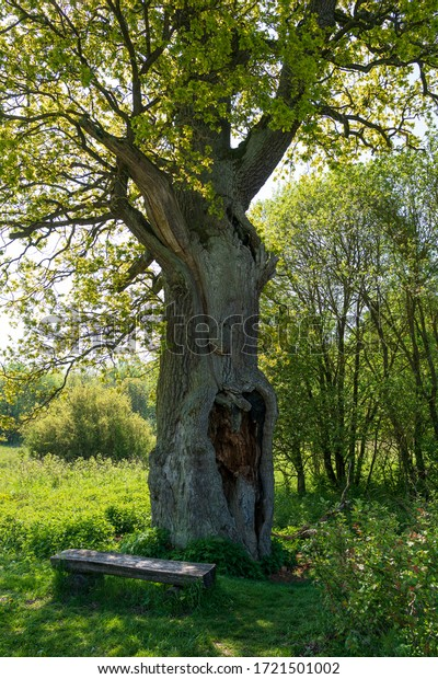 Large old oak tree with a bench seat, Hainich national Park