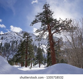 large old pine trees growing in Pine Creek Canyon in the winter