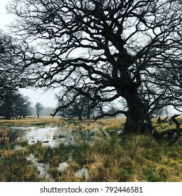 Large old twisted tree growing in a marshy European valley in the dark winter rain.