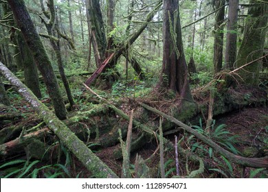 Large old-growth trees in temperate rainforest of Pacific Rim National Park on Vancouver Island