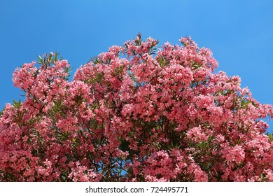 Large oleander tree - pink flowers in Lecce, Italy.