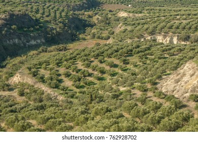 Large olive field in the mountains. Olive plantation Crete ,Greece, Europe. Fields of Olive trees Countryside
