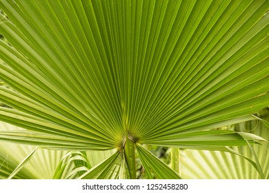 Large open green palm branch