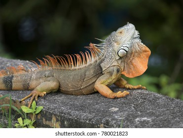 Large orange and brown male iguana with open throat fan resting on a concrete slab in grass.
