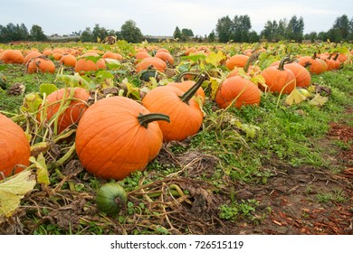 Large orange pumpkins in field ready for choosing for jack-o-lanterns