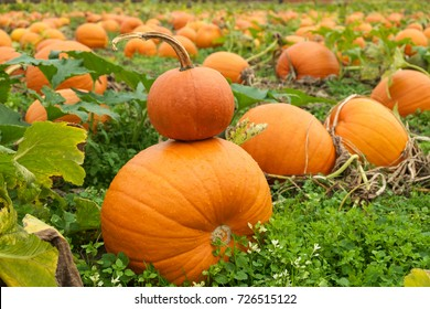 Large orange pumpkins in field with a small pumpkin stacked on top of larger one