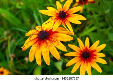 Large orange rudbeckia flowers. Blooming beautiful flowers of orange rudbeckia (Black-eyed Susan) flower bed in the summer garden. Soft blurred selective focus.