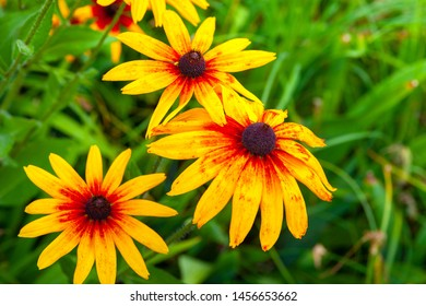 Large orange rudbeckia flowers. Bright bloom of beautiful flowers of orange rudbeckia (Black-eyed Susan) flower bed in the summer garden. Soft blurred selective focus.