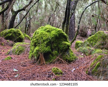 Large, overgrown with fresh dark green moss stones in the fog jungle on Tenerife in the north in Aguamansa.