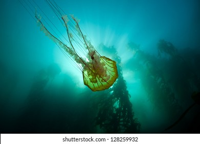 A large Pacific sea nettle jellyfish (Chrysaora fuscescens) drifts along the edge of a Monterey kelp forest.  Many colorful creatures are found living among the kelp forests of California.