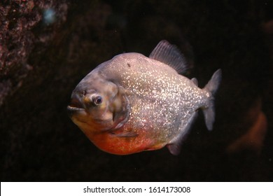 a large pacu fish underwater