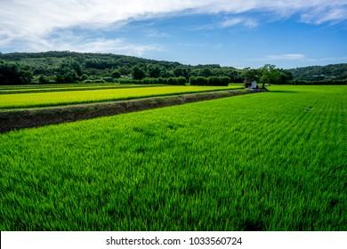 A large paddy field