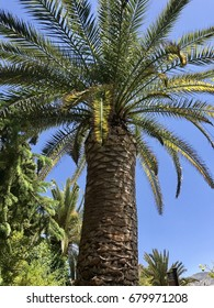 Large Palm Tree in Spain