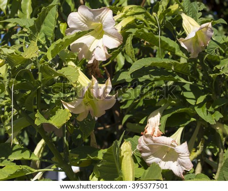 Large Pastel Pink Trumpet Flowers Datura Stock Photo Edit Now