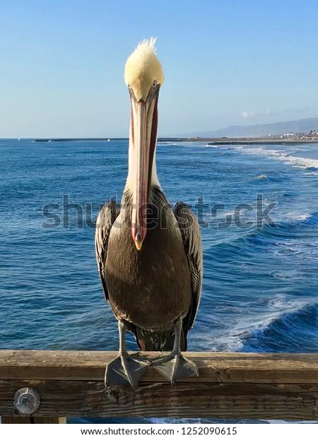 A large pelican sits on pier railing near San Diego, California.