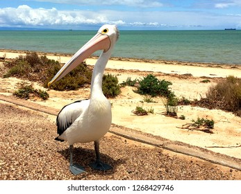 Large pelican waterbird close up at the foreshore beach in South Australia, standing, full body, with ocean horizon and cargo ships in background on sunny day, Whyalla wildlife