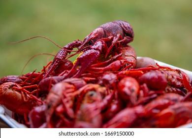 Large pile of boiled crayfish (AKA crawfish, crawdads or mudbugs) on a styrofoam plate