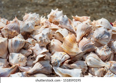 Large pile of Conch shells stacked up for sale in Key West