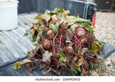 Large pile of freshly harvested beets or beetroot with adhering soil lying on the tailgate of a truck outdoors