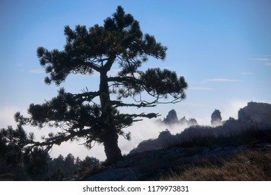 Large pine on the background of the sky and the silhouette of the mountain Ai-Petri in the fog