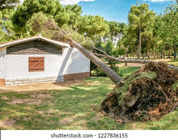 A large pine tree falls on a roof of a small private house. Storm and natural disaster concept