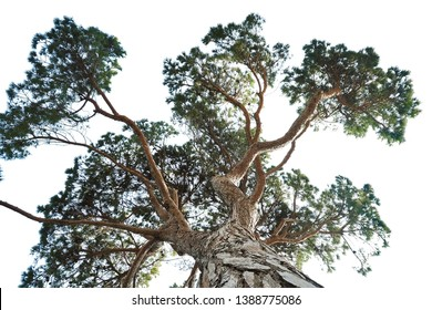 large pine tree on upper angle photo from below view isolated on white background