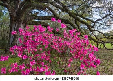 Large pink azalea bush in full bloom beneath a live oak tree in the lowcountry of Charleston, South Carolina.