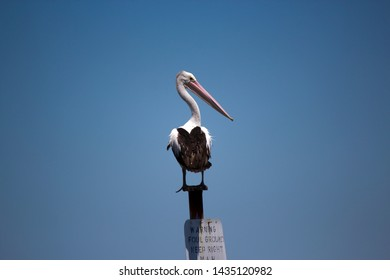 Large pink billed white pelican pelecanidae species pelecaniformes standing on a sign pole in the Peel Inlet,Mandurah, Western Australia after looking for a feed of fresh fish on a summer day.