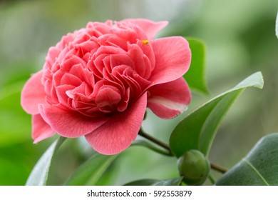 A large pink camelia flower