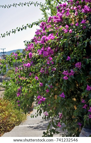 Large pink flowering bush shrubs lining stock photo edit now large pink flowering bush and shrubs lining the edge of a pathway in turkey mightylinksfo